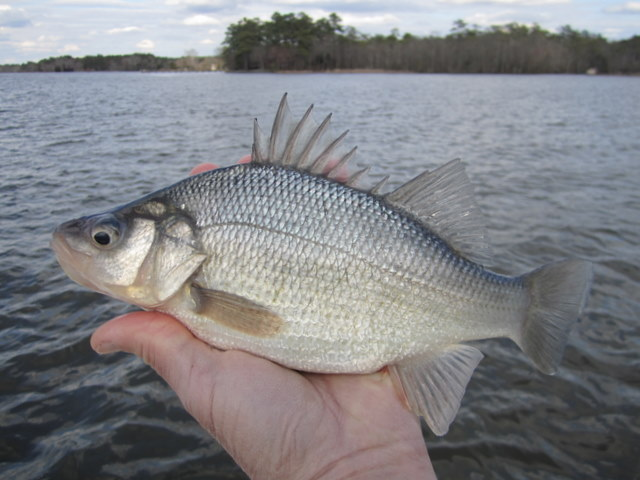 White perch josenhans fly fishing blog for White perch fishing