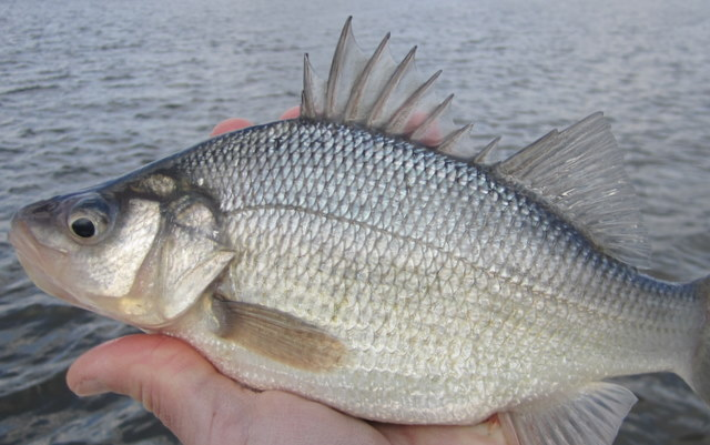 white perch josenhans fly fishing blog