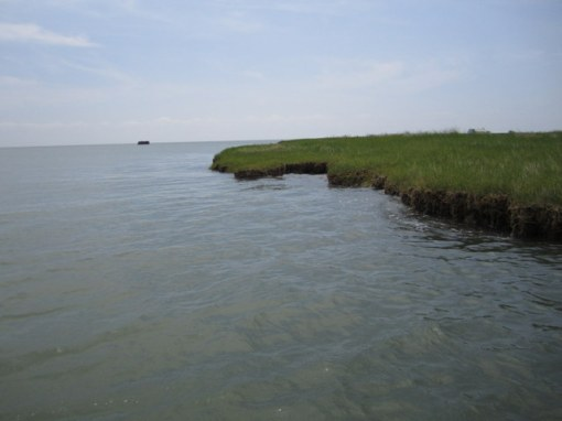 Tangier Sound sod banks serve as avenues for specks and stripers
